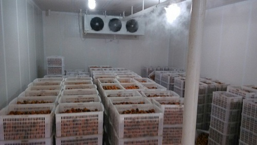 罗田食品公司储存的板栗实拍