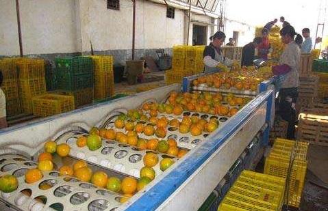脐橙筛选分级处理