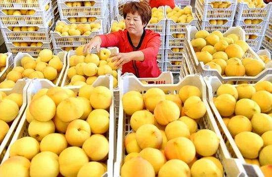 黄桃冷库保鲜储存技术,黄桃保存时间最久的方法