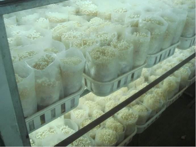 图为金针菇冷库栽培技术实拍