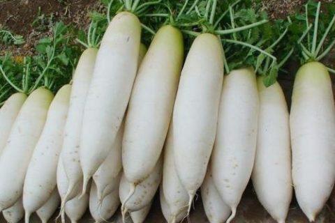 白萝卜保存的好办法,白萝卜冷库保鲜技术