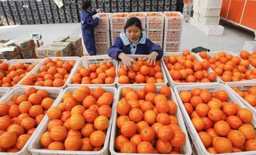 橙子放冷库能保存多久?橙子冷库贮藏温度是多少?