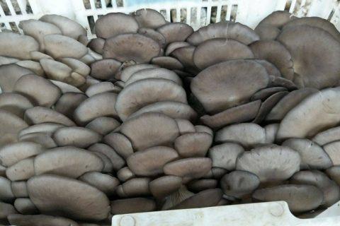 平菇冷库储存保鲜技术及温度要求介绍