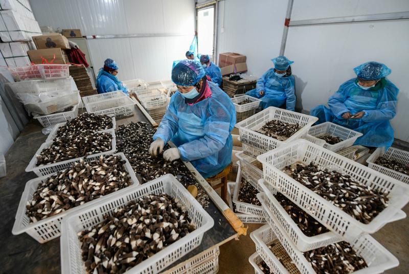 图为工人们正在筛选整理鸡枞菌