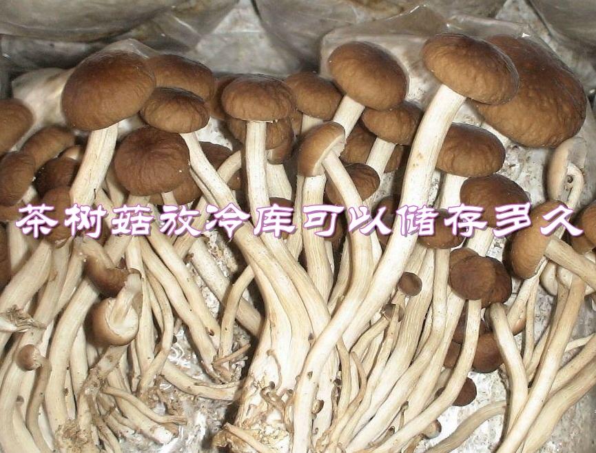 茶树菇放冷库可以储存多久?温度要求是多少?